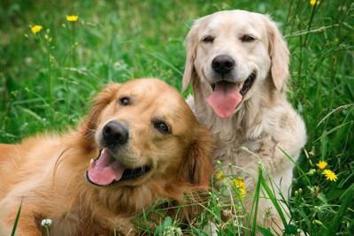 体を寄せ合う二頭の犬と黄色い花