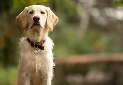 迷子札がついた首輪をつけた犬