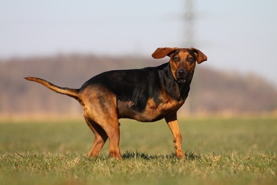 芝生の上に立つ右前足を失った犬