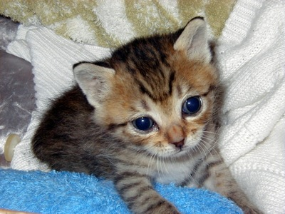 キジトラ 子猫 タオルなどの上にいる