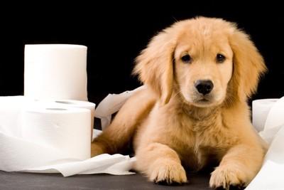 トイレットペーパーと子犬