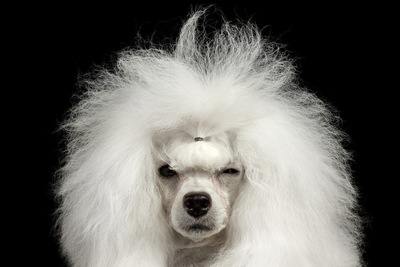 前髪を結んだ白いトイプードル
