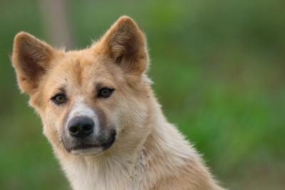 緑の背景、茶白の犬の顔のアップ