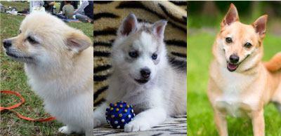 柴犬のミックス犬種のサムネイル画像