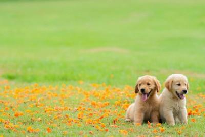 花畑に並んで座る2匹のゴールデンレトリーバーの子犬