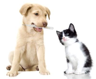 63425995 体温計をくわえて子猫に見せる犬