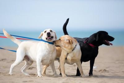 砂浜を一緒に散歩する三頭のラブラドールレトリバー