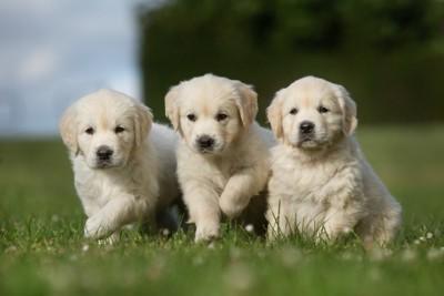 走る3匹の子犬