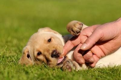 寝転び飼い主の指を噛む子犬