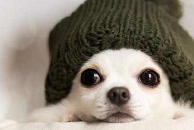 ニット帽をかぶったチワワ、顔のアップ