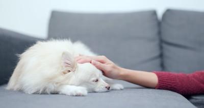 ソファーの上でぐったりする犬を撫でる人の手