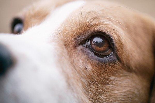 ビーグルの眼アップ