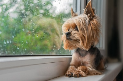 水滴のついた窓の外を眺めるヨーキー
