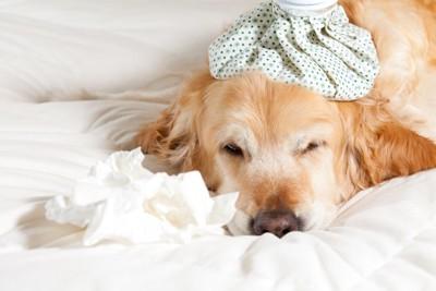 風邪をひいてベッドで眠る犬