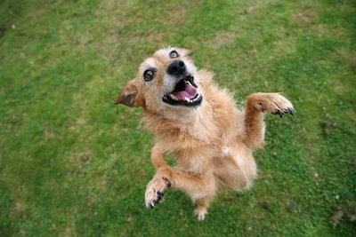 後ろ足で立ち上がった茶色いシニア犬