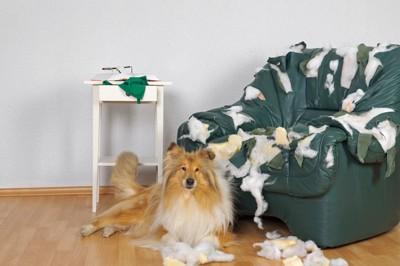 破壊した椅子のそばに伏せるコリー