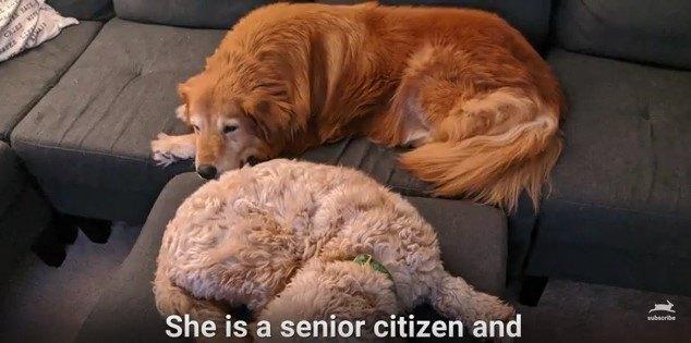 先住犬と一緒に昼寝
