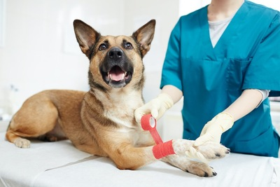 病院で獣医師に包帯を巻かれる犬