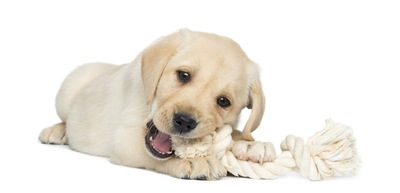 縄のおもちゃで遊ぶ子犬