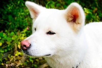 真顔でキメ顔の秋田犬