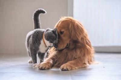 ゴールデンに甘える猫