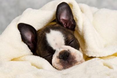 眠るボストンテリア