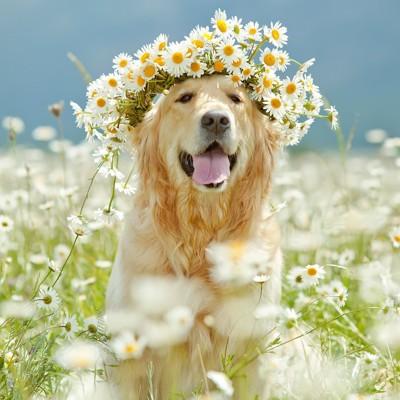 花畑に座って花冠をつけたレトリバー