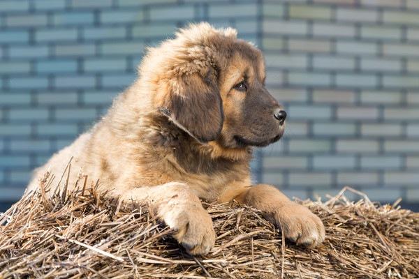 Tibetan Mastiffの子犬