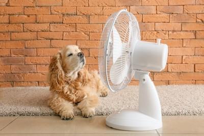 扇風機の前に伏せて風に当たるコッカー