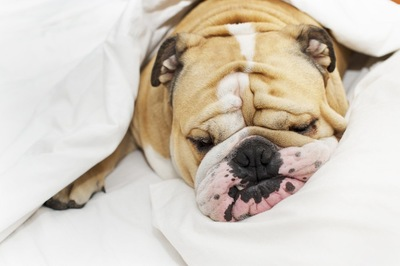 ベッドで寝るブルドッグ