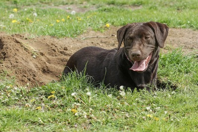 土を掘った穴で休む大型犬