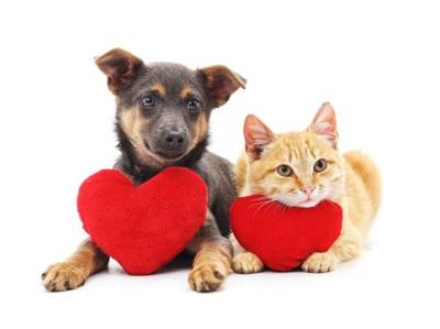 並んで伏せるハートのクッションを持った犬と猫