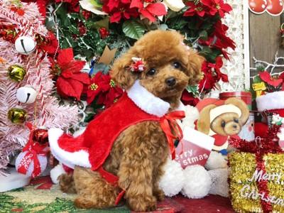 クリスマスを祝うトイプードル