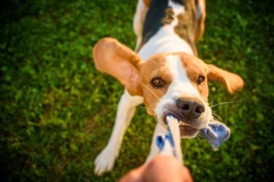 芝生で飼い主が持つロープを引っ張る犬