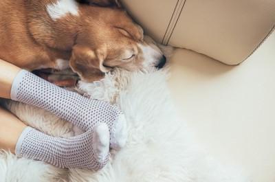 飼い主の足元で寝るビーグル