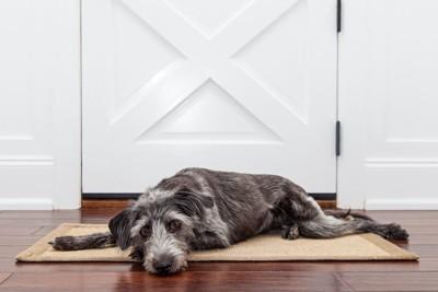 玄関マットの上で寝そべる犬