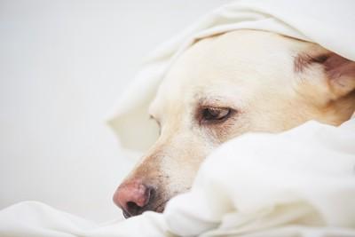 ベッドに入っているラブラドールの横顔