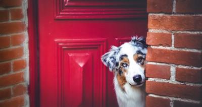 開いている玄関から顔を出す犬