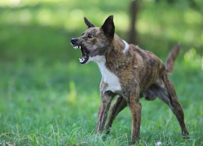 怒って吠えている犬
