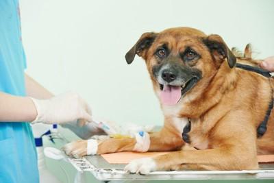 血液検査を受ける犬