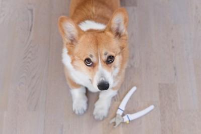 コーギーと犬用爪切り