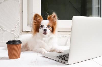 パソコン前に座るパピヨン