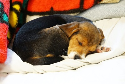 丸くなって眠っている子犬