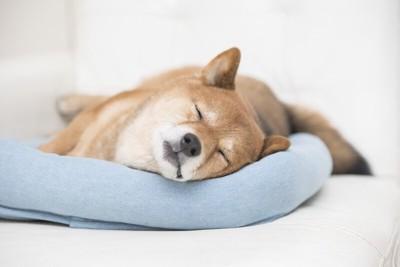 熟睡中の柴犬