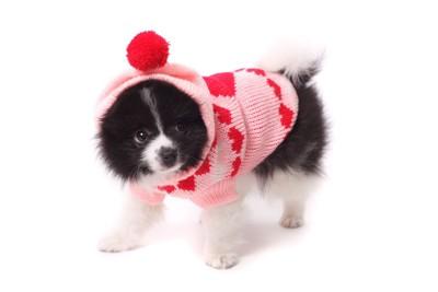 ニットを着る犬