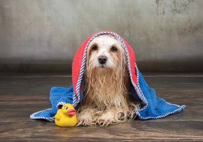 タオルをかけられている犬とおもちゃのアヒル