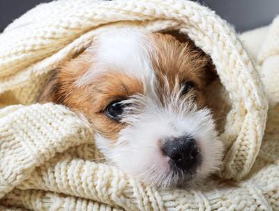 飼い主のセーターに包まる犬