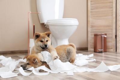 トイレットペーパーで遊ぶ2匹の子犬