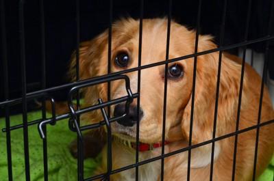 ケージの中から悲しげにこちらを見つめる犬