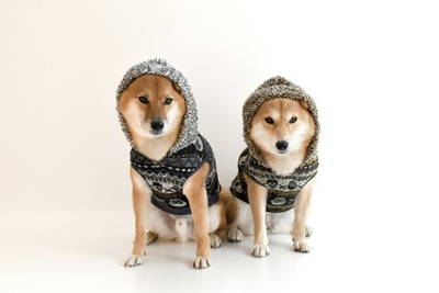 服を着た柴犬2匹